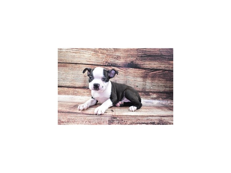 Boston Terrier-Male-Black and White-2773073-Petland Dalton