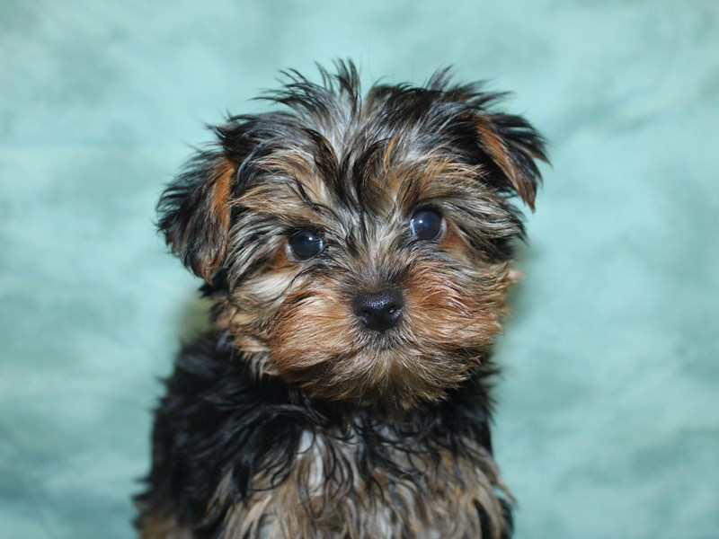Yorkshire Terrier-Female-Black and Gold-2757762-Petland Dalton