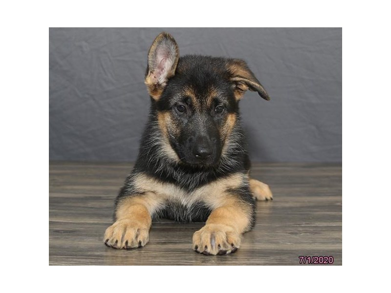 German Shepherd Dog-Female-Black / Tan-2763442-Petland Dalton