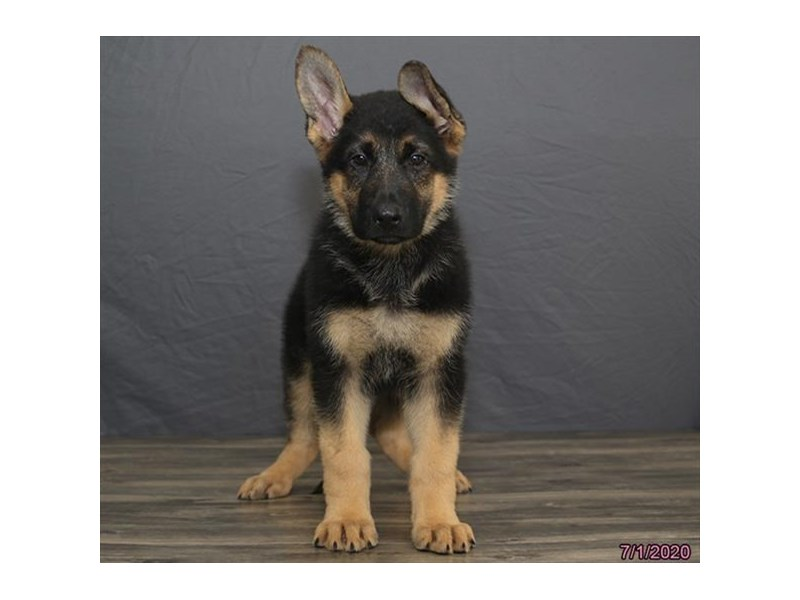 German Shepherd Dog-DOG-Male-Black / Tan-2763446-Petland Dalton