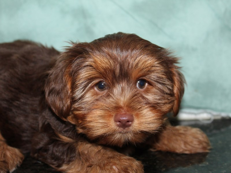 Yorkshire Terrier-Female-CHOC TAN-2764050-Petland Dalton