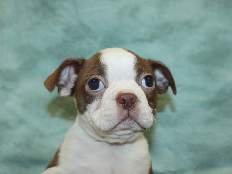 Boston Terrier-Male-RED WHITE-2771792-Petland Dalton