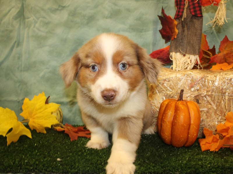 Miniature Australian Shepherd-Female-RED MERLE-2838964-Petland Dalton
