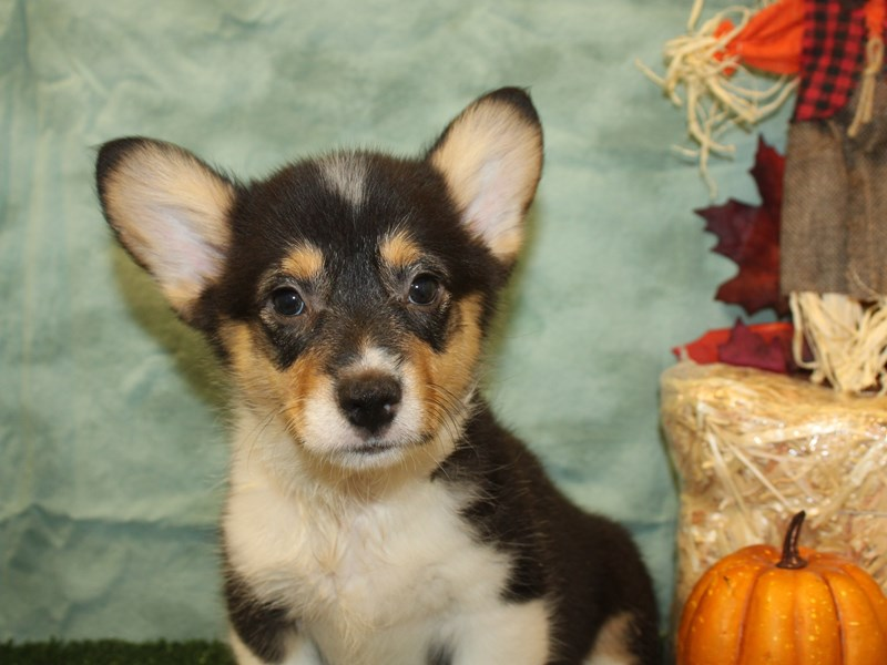 Pembroke Welsh Corgi-Male-Black and Tan-2840698-Petland Dalton