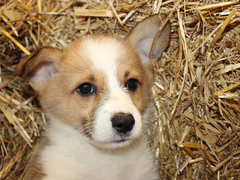 Pembroke Welsh Corgi-Male-SABLE WHITE-2854083-Petland Dalton