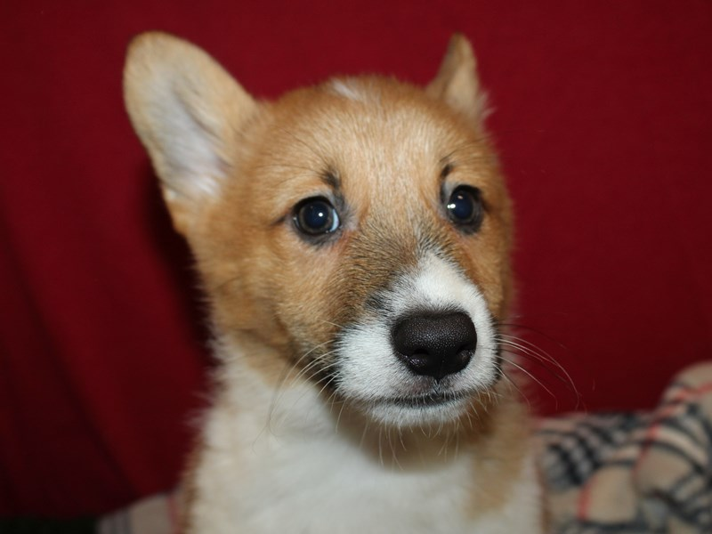 Pembroke Welsh Corgi-Male-Red / White-2908749-Petland Dalton