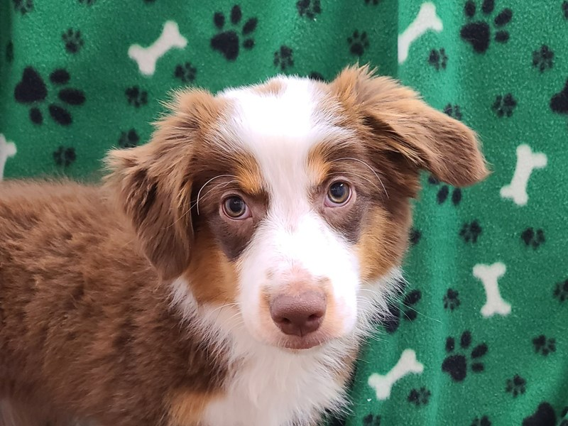 Miniature Australian Shepherd-Female-RED TRI-2868520-Petland Dalton