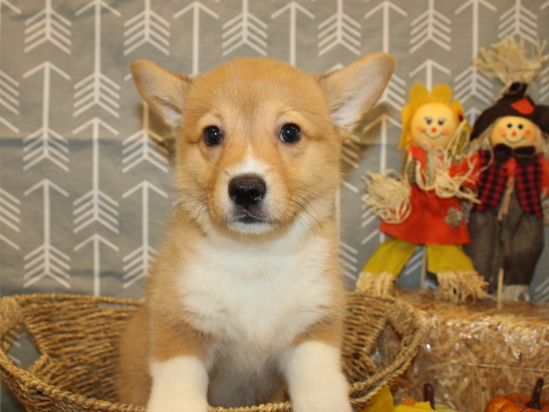 Pembroke Welsh Corgi-Female-Sable-2890681-Petland Dalton