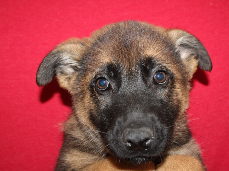 German Shepherd-DOG-Male-Blk&Tan-2927570-Petland Dalton