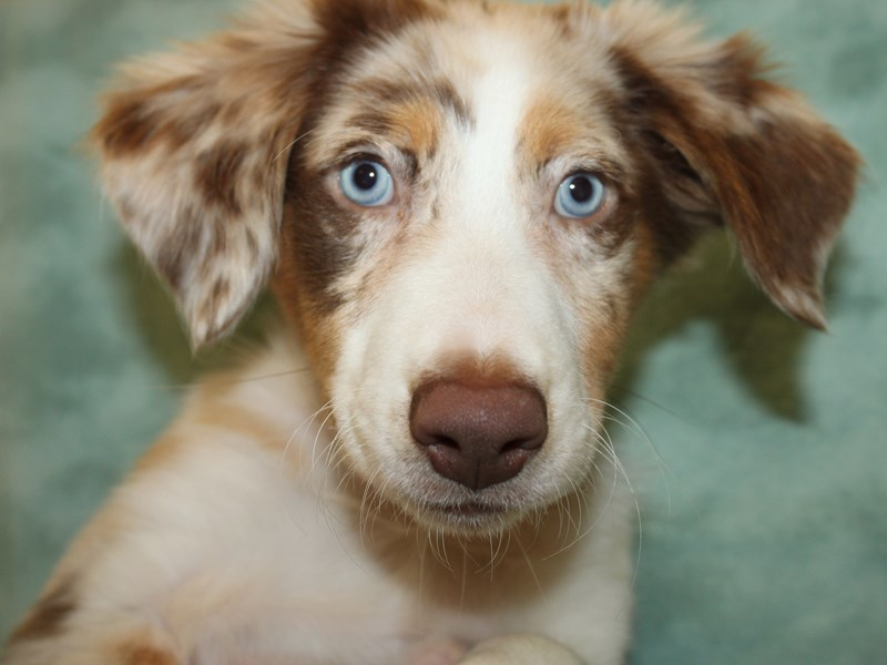 Miniature Australian Shepherd-Female-RED MERLE-2896011-Petland Dalton