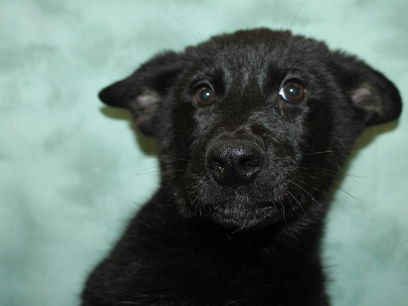 German Shepherd-Female-Black Tan-2917446-Petland Dalton