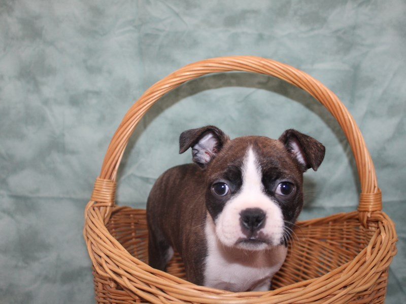 Boston Terrier-Male-BRINDLE WH-2980056-Petland Dalton