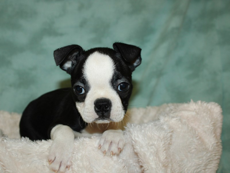 Boston Terrier-Female-Blk&Wh-2999268-Petland Dalton