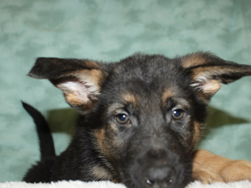 German Shepherd-Male--3006120-Petland Dalton