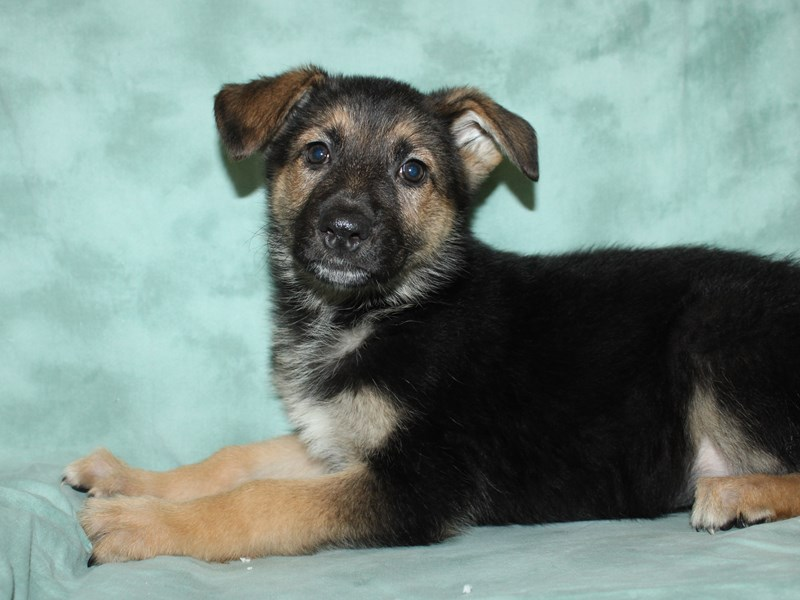 German Shepherd-Female--3006106-Petland Dalton